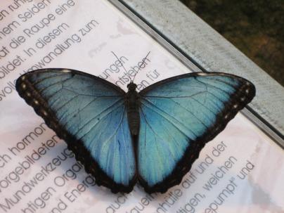 blue-morphofalter-947714_960_720