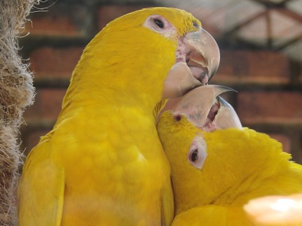 yellow-birds-615512_640